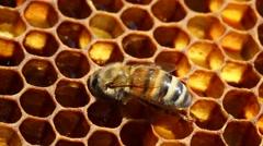 Bees convert nectar into honey - stock footage