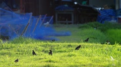Great myna group in the field Stock Footage