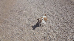 Jack Russell Terrier runs along the beach near the sea and playing with stones Stock Footage