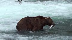 Alaskan Brown Bear Catches a Fish and Takes It To shore To Eat It Stock Footage