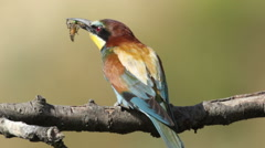 Bird Bee eater eating beetle insect sitting on a branch in front of the nest. Stock Footage