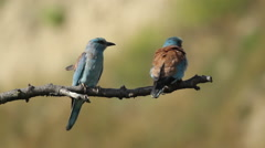 Couple of European rollers perching on a branch in front of the nest. Stock Footage