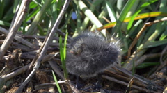 Cute baby bird - funny Eurasian coot chick falling over - 4k Stock Footage
