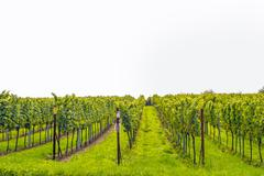 Grapevine / vineyard isolated Stock Photos