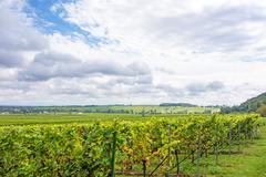 Grapevine in the vineyards - stock photo
