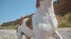 Someone throws a stone to dog Jack Russell, and dog runs along the seashore Arkistovideo