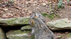 4K footage of a Wildcat (Felis silvestris) mother with her kitten - stock footage