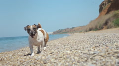 Full of energy the dog Jack Russell runs on rocky seashore on the pebbles near Arkistovideo