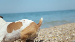 Energetic Jack Russell Dog running on the pebbles near the sea with a little boy Stock Footage