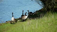 Canada Geese Family (Gaggle) Closeup #3 Stock Footage