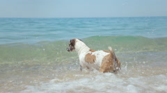 Dog Jack Russell Terrier jumping over stone in the sea and floats Stock Footage