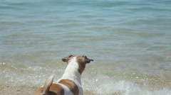 Dog Jack Russell Terrier bathe and swim in a sea Stock Footage