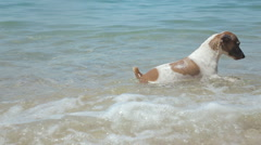 Dog Jack Russell Terrier jumping over stone in the sea and swim Stock Footage