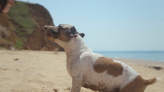 Girl digs stone into the sand and a dog breed Jack Russell looking for him near Stock Footage