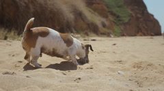 Funny dog breed Jack Russell plays in the sand with stone Stock Footage