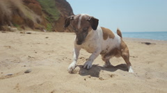 Funny dog breed Jack Russell plays in the sand with a stone near the sea Stock Footage