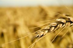 Grain spike Stock Photos