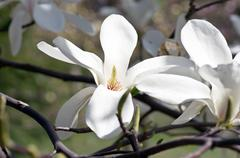 Beautiful Flowers of a Magnolia Tree - stock photo