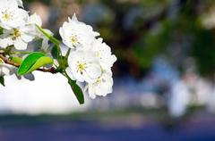 Stock Photo of closeup of the pear blossom in spring
