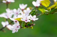 Stock Photo of Cherry blossom closeup over natural background