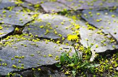 Stock Photo of Yellow blooming dandelions growing between paving.