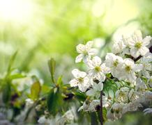Green spring background with beautiful flowering tree - stock photo