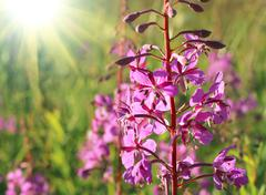 Wild flower of Willow-herb with sunlight - stock photo