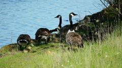 Canada Geese Family (Gaggle) Closeup #1 Stock Footage