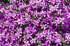 Beautiful natural background of small purple flowers Stock Photos