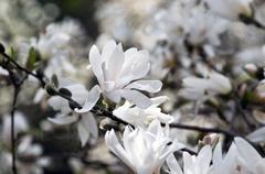Beautiful Flowers of a Magnolia Tree Stock Photos