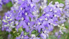 Beautiful flower delphinium Stock Footage