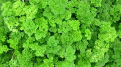 Stock Video Footage of Juicy curly parsley