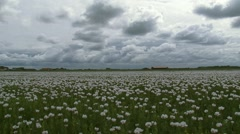 Papaver cultivation in Dutch polder, traditional farmhouse at horizon + pan Stock Footage