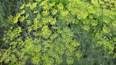 Flowering herb dill - stock footage