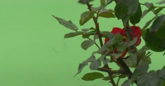 Red Rose Bush, Red Flower Closeup Behind The Green Leaves - stock footage