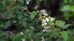 Blooming blackberry branch with bees - stock footage