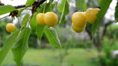 Berries yellow cherries Stock Footage