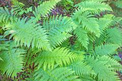 Stock Photo of Fern