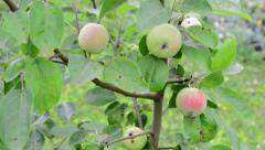 Young apple tree - stock footage