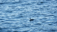 Duck on the water surface Stock Footage