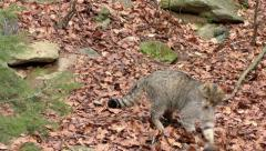 4K footage of a Wildcat (Felis silvestris) - stock footage
