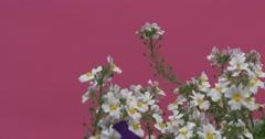Fluttering White Field Flowers on Green Stalks Stock Footage
