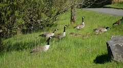 Canada Geese Walking up a Grass Bank - stock footage