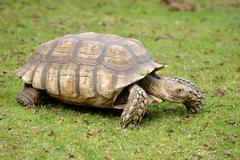 African spurred tortoise on grass Stock Photos