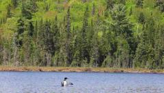 Loon fanning its wings Stock Footage
