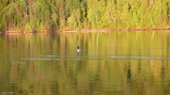 Loon makes noise and swims away Stock Footage