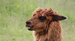 Portrait of chewing alpaca on green background. Stock Footage