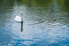 Swan in a water pond - stock photo