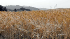 Color splash of ripe golden barley. Stock Footage