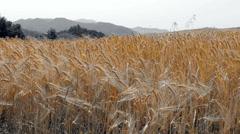 Stock Video Footage of Color splash of ripe golden barley.